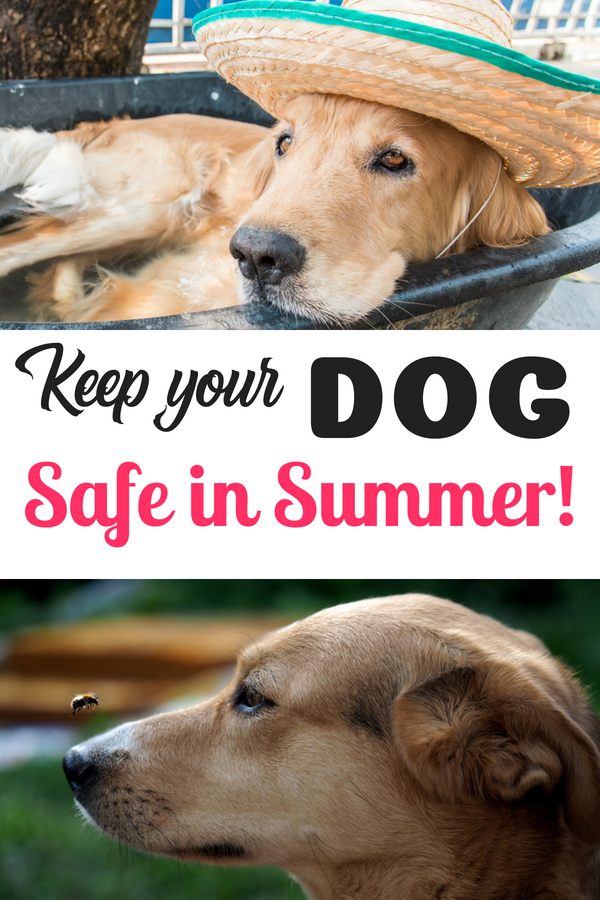 Keeping your dog safe in summer: Dogs are often considered part of the family, and caring for dogs can feel like caring for your child. In some ways dogs are very independent, but a dog, like a child needs extra care at certain times and summer is one of those times. Read on to see how you can help protect your dog in summer